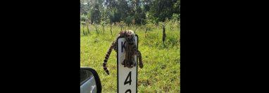 El cadáver del tigrillo apareció colgado en una señal de tránsito. (Foto Prensa Libre: @NotiorienteGT)