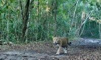 """El jaguar llamado """"El Tigre Elvis"""" por ambientalistas, aparecio de nuevo ante las cámaras trampa instaladas en la Reserva de la Biósfera Maya, lo que da satisfaccioón por su conservación. (Foto Prensa Libre: Cortesía)"""
