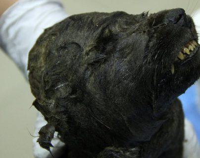 El cuerpo del animal fue hallado de manera sorprendente en excelente estado de conservación.