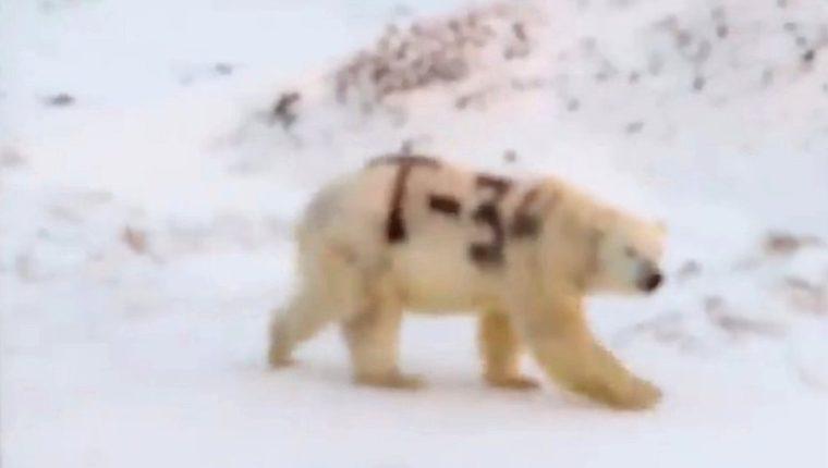 Esta imagen de un oso polar con una letra y números pintados en negro sobre su cuerpo despertó la preocupación de los científicos. SERGEY KAVRY/FACEBOOK