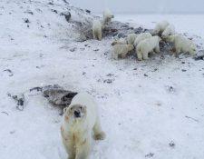 Al menos 56 osos han bajado hasta las cercanías del poblado.