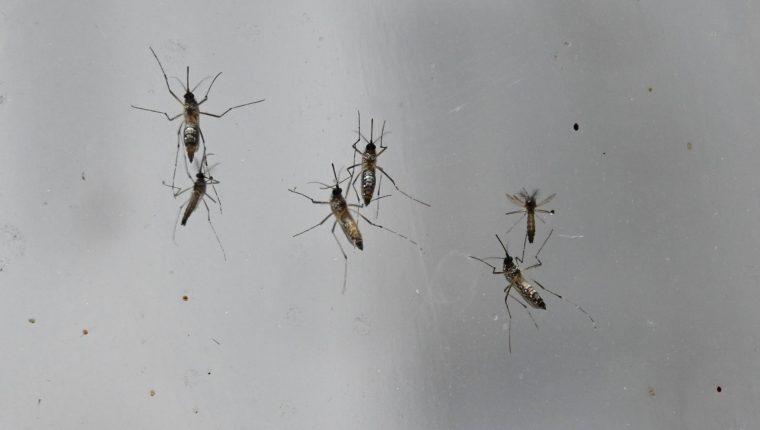 El dengue es transmitido por el mosquito Aedes Aegypti. No se conoce con certeza el número de guatemaltecos que han sido afectados porque la base de datos del Ministerio de Salud tiene inconsistencias. (Foto Prensa Libre: AFP)