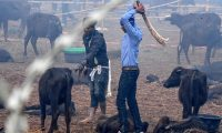 A Hindu devotee slaughters a buffalo as an offering to Hindu goddess Gadhimai during the Gadhimai Festival in Bariyarpur, 160 kms south of the capital Kathmandu on December 3, 2019. - The stench of raw meat hung in the air and pools of blood dotted the muddy ground on December 3 as what is thought to be the world's biggest animal sacrifice swung into action in a remote area of Nepal. (Photo by PRAKASH MATHEMA / AFP)