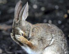 El conejo está en peligro de extinción. (Foto Prensa Libre: Tomada de FayerWayer)