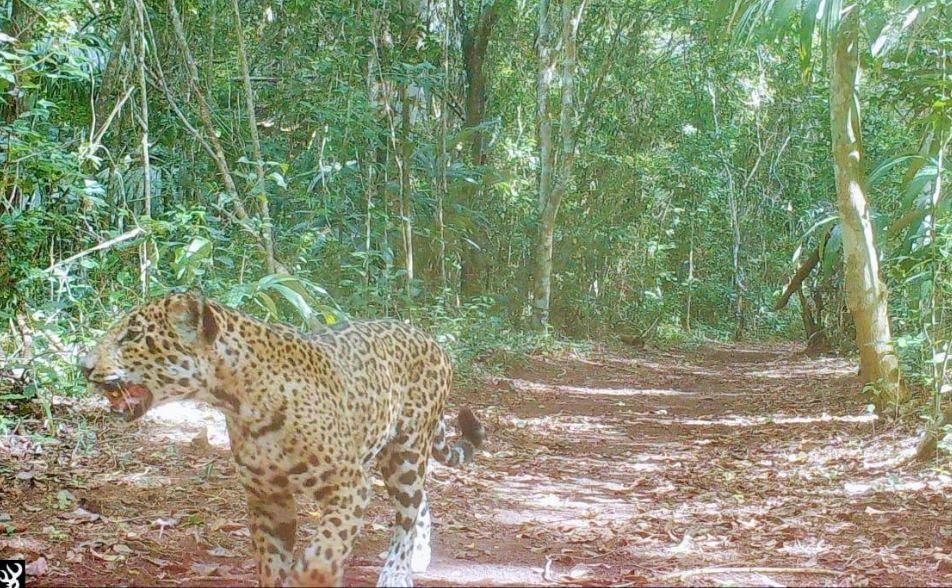 Cámara capta a jaguar cerca del campamento de Carmelita en la selva petenera