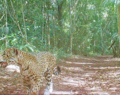 Jaguar captado cerca del campamento de la Carmelita, San Andrés, Petén. (Foto Prensa Libre: Cooperativa Carmelita).