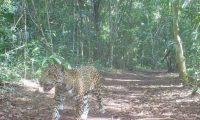Cámara capta a jaguar cerca del campamento de Carmelita, en San Andrés, Petén. (Foto Prensa Libre: Cooperativa Carmelita).