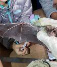 La mayoría de murciélagos son inofensivos y con frecuencia expertos explican la importancia que estos tienen en el medioambiente. (Foto Prensa Libre: Cortesía Fundaeco)
