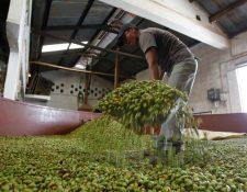 El cardamomo ha tenido cifras récord de exportaciones en el 2019. (Foto, Prensa Libre: Hemeroteca PL).