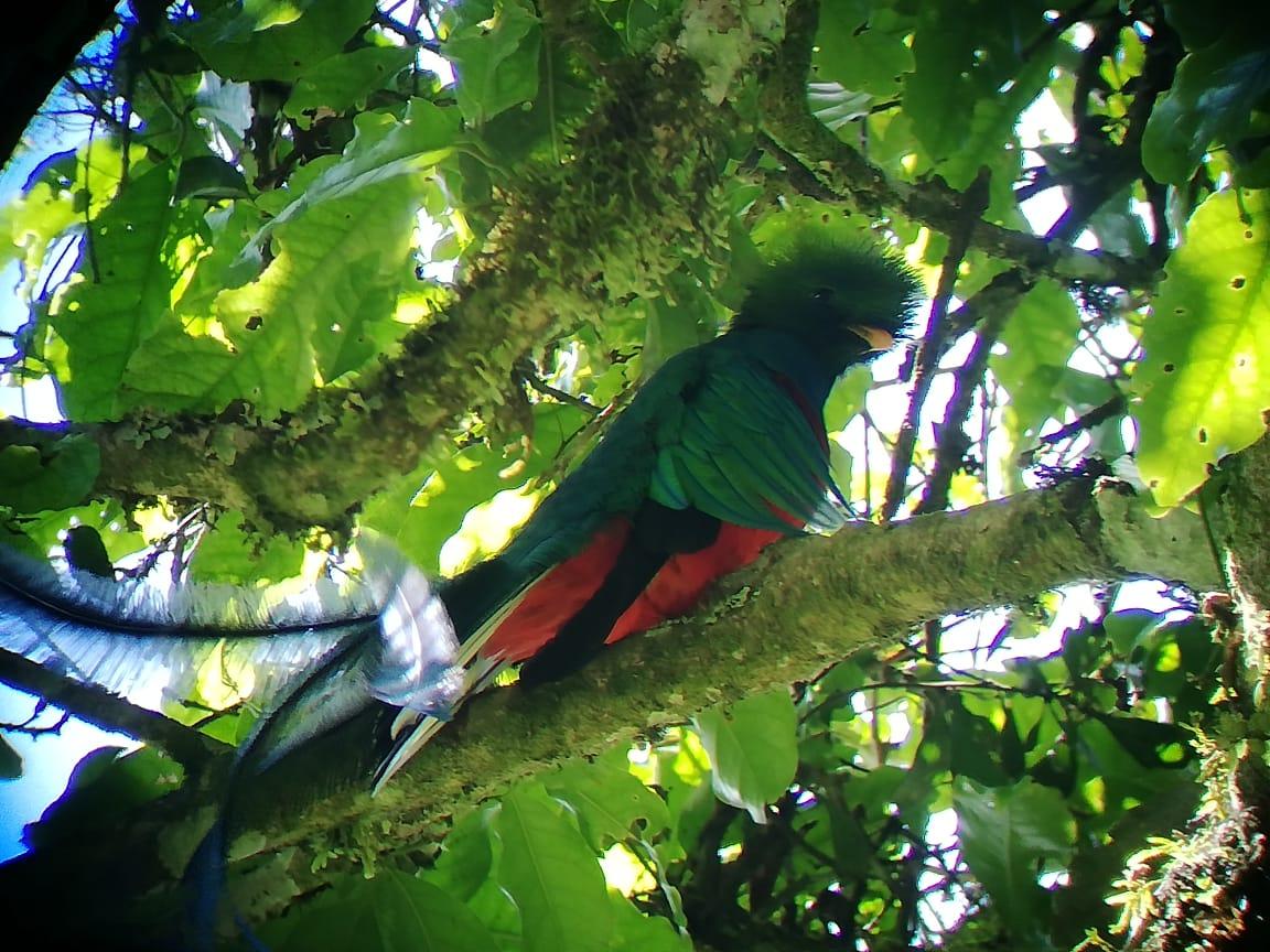 Las faldas del volcán Atitlán, el refugio perfecto para el quetzal que lucha contra la extinción