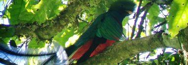 Un quetzal fue visto en un área del Parque Regional Municipal Mirador Rey Tepepul de Santiago Atitlán. (Foto Prensa Libre: Conap Sololá)