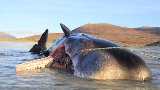 Para los habitantes de la isla de Harris, en Escocia, la aparición del cachalote con basura es una muestra del creciente problema de la contaminación marina. (SMASS)