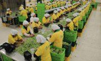 La planta de empaque de vegetales frescos de Frutesa, entre estos arvejas chinas y arvejas dulces.