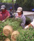 Los migrantes guatemaltecos que fueron reclutados por una firma en Ontario, ahora se encuentran laborando en el área agrícola. (Fotos Prensa Libre: Hemeroteca PL)