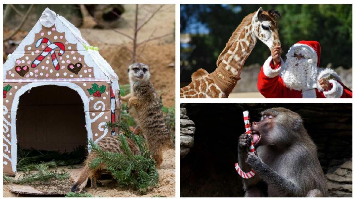 Fotogalería: La Navidad llega a los zoológicos del mundo con detalles especiales