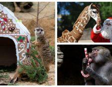 Animales disfrutan de un festín navideño en varios zoológicos del mundo. (Foto Prensa Libre: AFP)