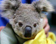 Los incendios han sido particularmente trágicos para los koalas.