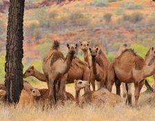 Los camellos fueron llevados a Australia en el siglo XIX y desde entonces se han convertido en salvajes. (Foto Prensa Libre: Hemeroteca).