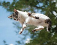 De alguna forma que permanece misteriosa para la comunidad científica, los gatos se las ingenian para caer de pie.