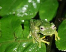 Las tres ranas fueron encontradas en un parque nacional en Bolivia.