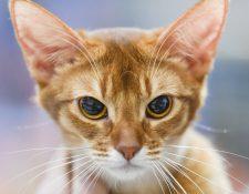 """Cuando el gato gruñe, la señal es clara:""""Ni te me acerques"""". Foto Prensa Libre: DPA"""