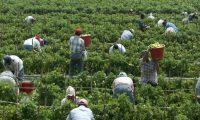 Miles de guatemaltecos son considerados trabajadores esenciales puesto que se desempeñan en la agricultura.. (Foto Prensa Libre: Hemeroteca PL)