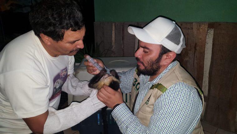 Los monos estaban deshidratados, pues eran transportados en costales desde hacía varios días. (Foto Prensa Libre: Conap)