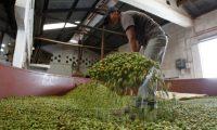 Reportaje  sobre la Planta de secado de cardamomo en Coban, Alta Verapaz. FOTO: Alvaro Interiano.