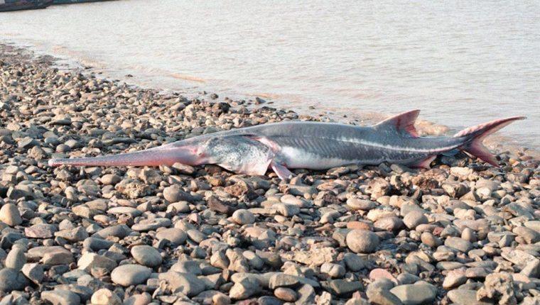 El pez espátula chino ha desaparecido a causa de la sobrepesca. (Foto tomada de RT Actualidad).