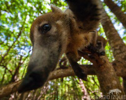 En una gran colaboración, Sergio Izquierdo, fotógrafo guatemalteco que ha publicado en National Geographic especializado en naturaleza y conseracionista. Nos muestra parte de su trabajo en conmemoración del Día Mundial de la Educación Ambiental, establecido en 1975. Fotografía Prensa Libre: Sergio Izquierdo