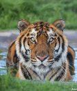 Los tigres que fueron rescatados en Guatemala ahora viven en una reserva natural en Sudáfrica. (Foto Prensa Libre: Cortesía ADI)