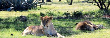 Los felinos recatados de circos en Guatemala llegaron a ADI Wildlife Sanctuary en Sudáfrica el pasado 21 de enero. (Foto Prensa Libre: Cortesía)