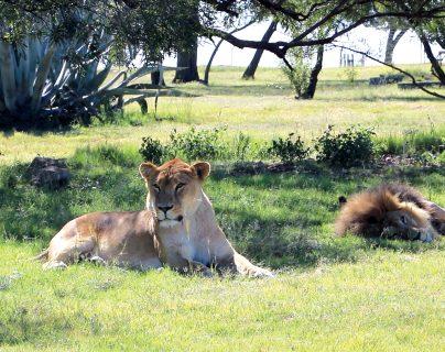 Así es el santuario en Sudáfrica donde viven los tigres y leones rescatados de circos en Guatemala