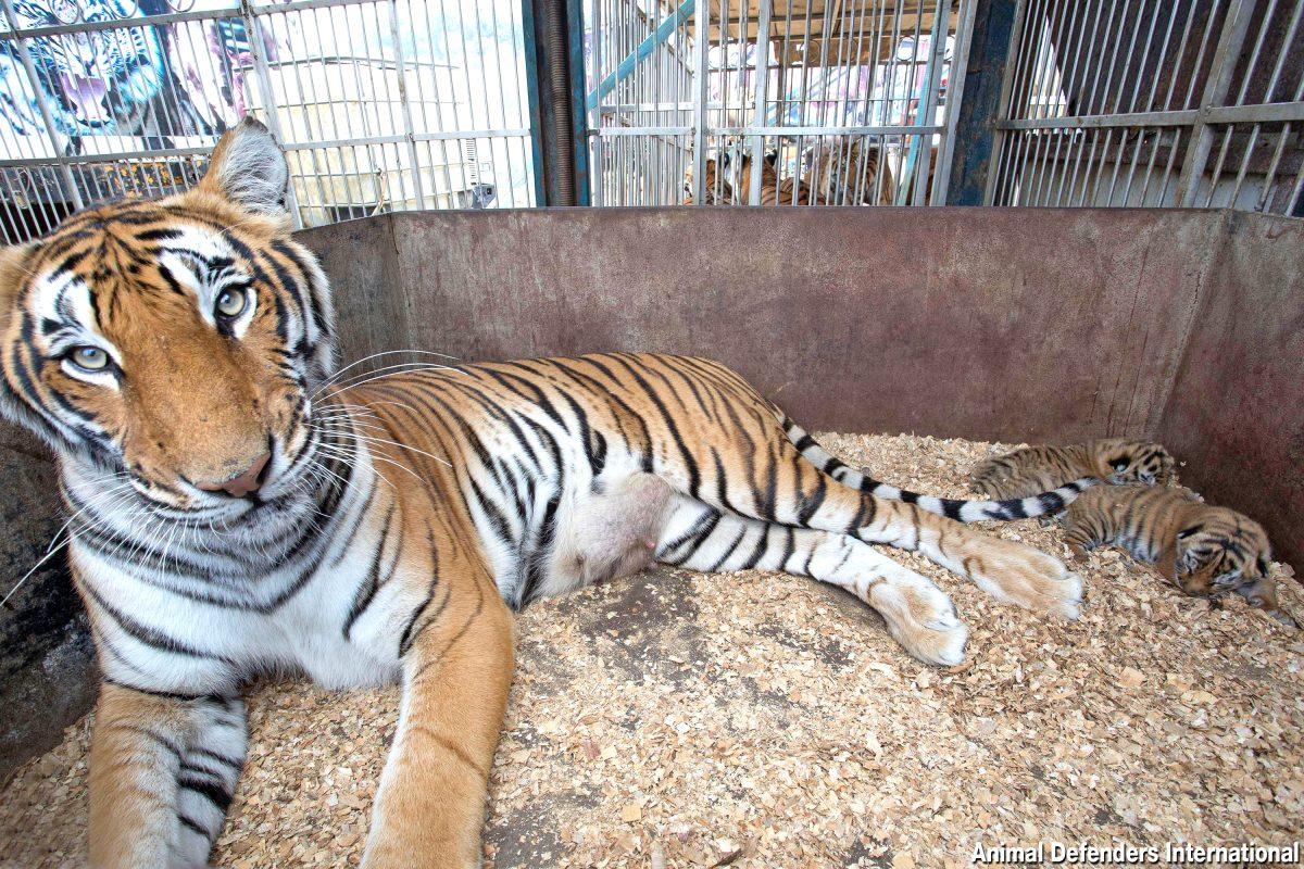 Operación Libertad, el proyecto que traslada 17 tigres y leones rescatados de circos a santuario en Sudáfrica