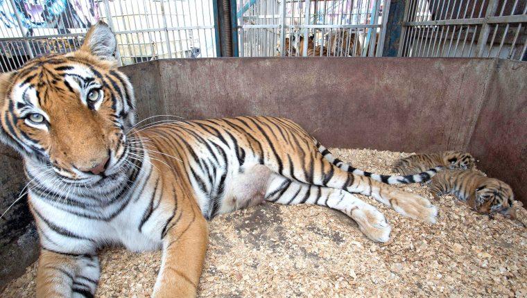 Los tigres serán reubicados en un santuario en Sudáfrica. (Foto Prensa Libre: Cortesía)