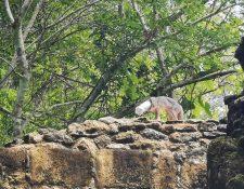El zorro gris permaneció con una botella de plástico en la cabeza durante varios días en la selva de Uaxactún, Petén. (Foto Prensa Libre: Tomada de Facebook)