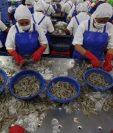 Guatemala tiene producción con controles detallados de camarón pero se puede ampliar la oferta. (Foto, Prensa Libre: Hemeroteca PL).