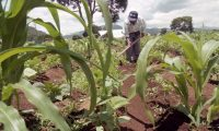 Reportaje  sobre el cultivo de plantaciones de Frijol, Maiz, donde una empresa procesador  ubicada en el Tejar Chimaltenango, a contratado a personal de la regi—n para  que se hagan cargo de dichos sembrad'o  Forto Daniel Herrera Guatemala  16 de marzo 2003