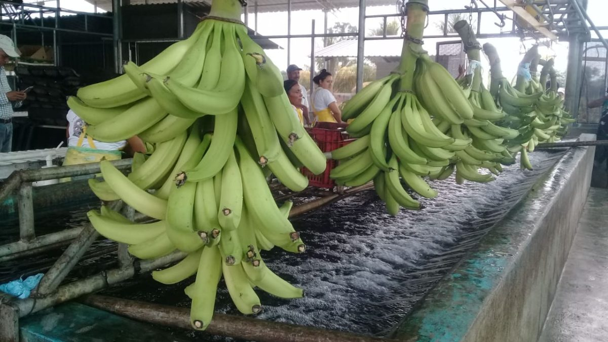 Cómo el banano se colocó como el principal producto agrícola de exportación en Guatemala