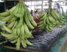 Las exportaciones de banano podrían superar los US$800 millones en el 2019 siendo la principal actividad agrícola que más divisas va a generar. (Foto Prensa Libre: Hemeroteca)