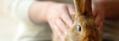 Es importante que conozca las necesidades de los conejos antes de tener uno como mascota. (Foto Prensa Libre: Servicios).