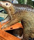 Un pangolín traficado en Kuala Lumpur: el animal es sospechoso del brote de coronavirus. GETTY IMAGES