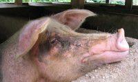 ACOMPAÑA CRÓNICA BRASIL MEDIOAMBIENTE***AME2010. TERESÓPOLIS (BRASIL), 13/02/2020.- Fotografía fechada el 14 de noviembre de 2014 de cerdos en Teresópolis, Brasil. Estos animales se han convertido en el último aliado de las energías renovables en Brasil, donde cada vez son más los porcicultores que producen biogás gracias a los excrementos de los lechones. En la localidad de Sao Miguel do Iguaçu, en el interior del estado de Paraná (sur), los cerdos siempre fueron una fuente de renta para la familia Colombari, pero han adquirido un nuevo valor gracias a este gas producido por la descomposición de materia orgánica. EFE/MARCELO SAYÂO/ARCHIVO