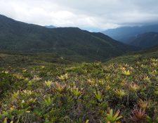 Páramo arbustivo del Abra de Zamora, entre las provincias de Loja y Zamora Chinchipe en Ecuador. Con una gran variedad de ecosistemas. Foto Prensa Libre, archivo EFE