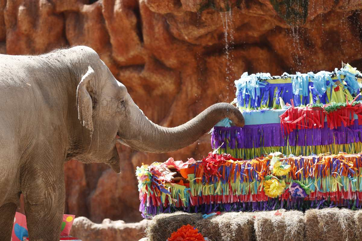 Fotogalería: elefanta Trompita festeja sus 59 años con un pastel de 300 libras