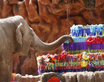 Para la elefanta este es un momento especial porque recibe regalos y un pastel gigante, el cual degusta ante los ojos de niños y adultos. Fotografía Esbin Garcia/Prensa Libre