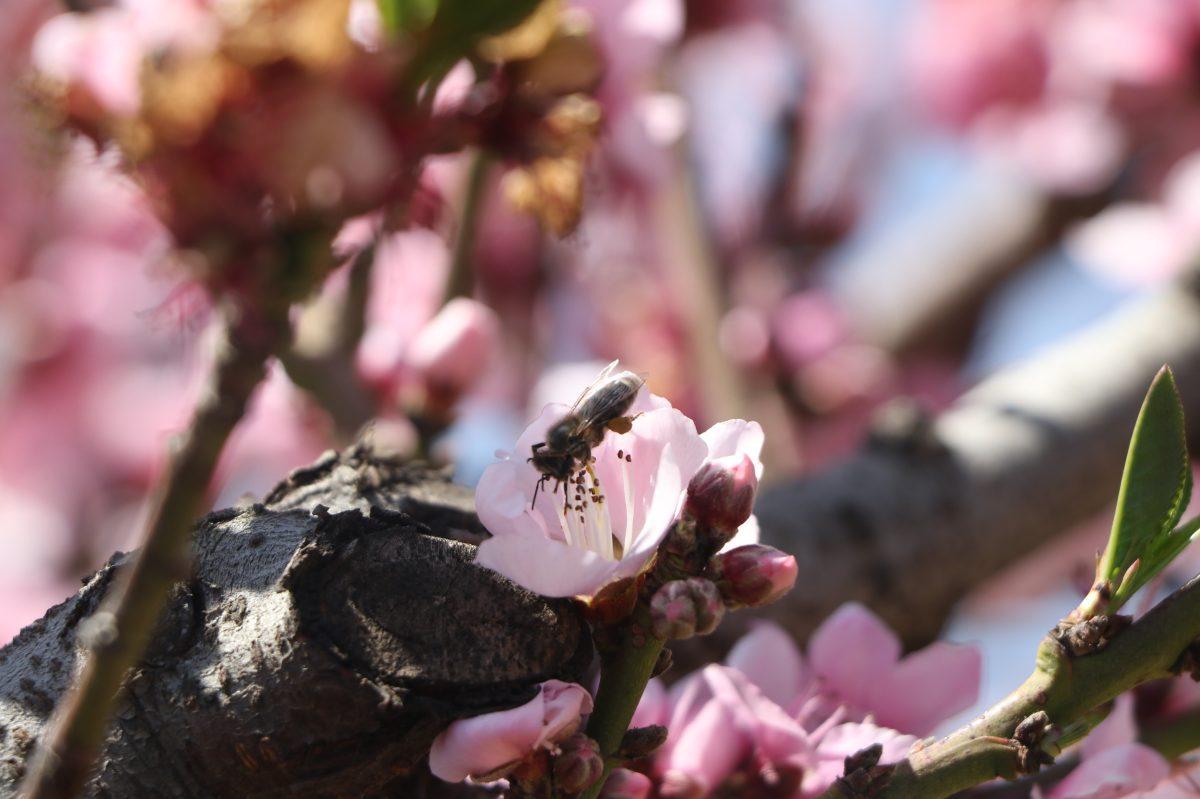 Tour de la Floración, un espectáculo de la naturaleza que se promueve en los huertos de Salcajá