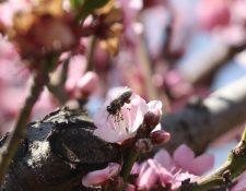 Las abejas juegan un papel importante en la polinización de la flor para que se produzca el melocotón. (Foto Prensa Libre: Raúl Juárez)