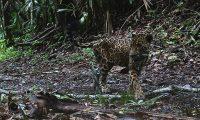 En el mismo lugar donde fueron captados los tres presuntos cazadores, una cámara trampa documentó una hembra de jaguar. (Foto Prensa Libre: Cortesía)