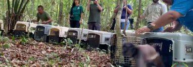 Los monos fueron liberados en el Parque Nacional Yaxha-Nakum-Naranjo, Petén. (Foto Prensa Libre: Cortesía Arcas)